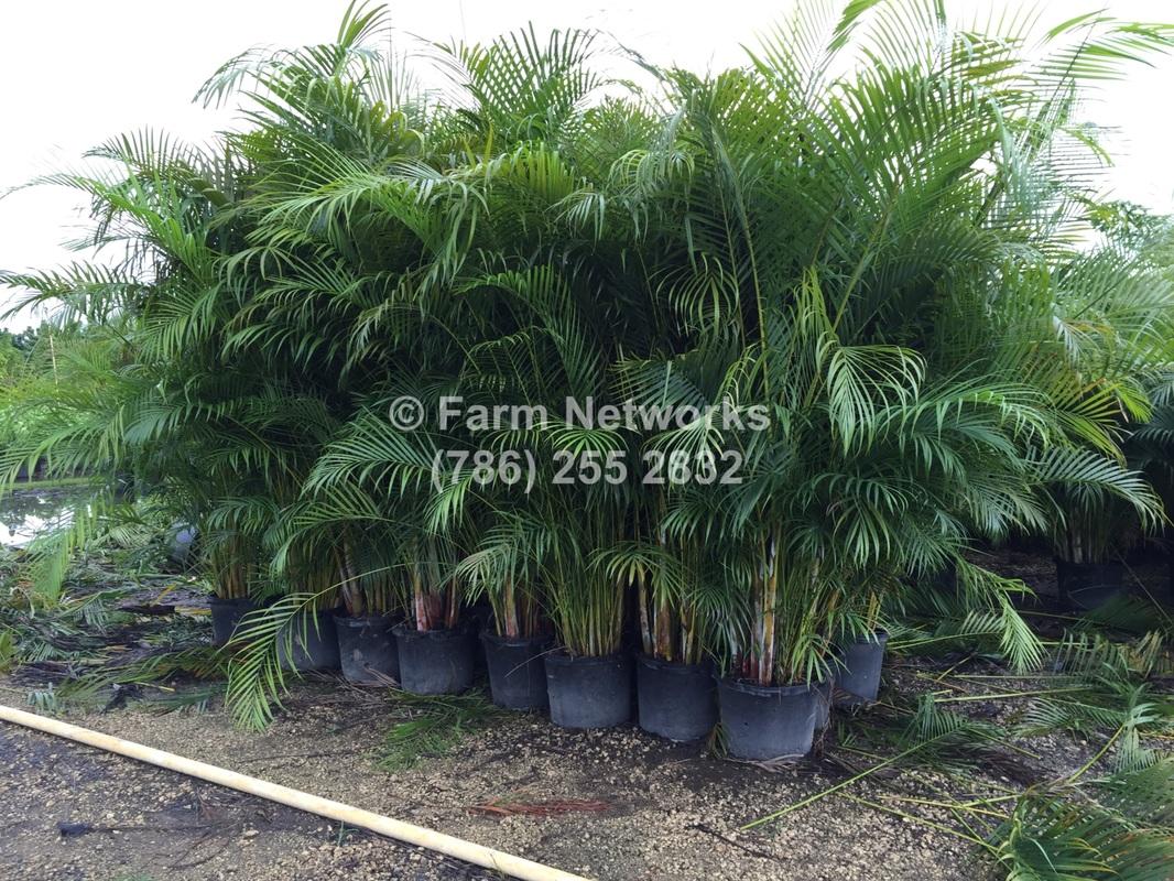 Palm Beach Nursery 786 255 2832 We Deliver Plant